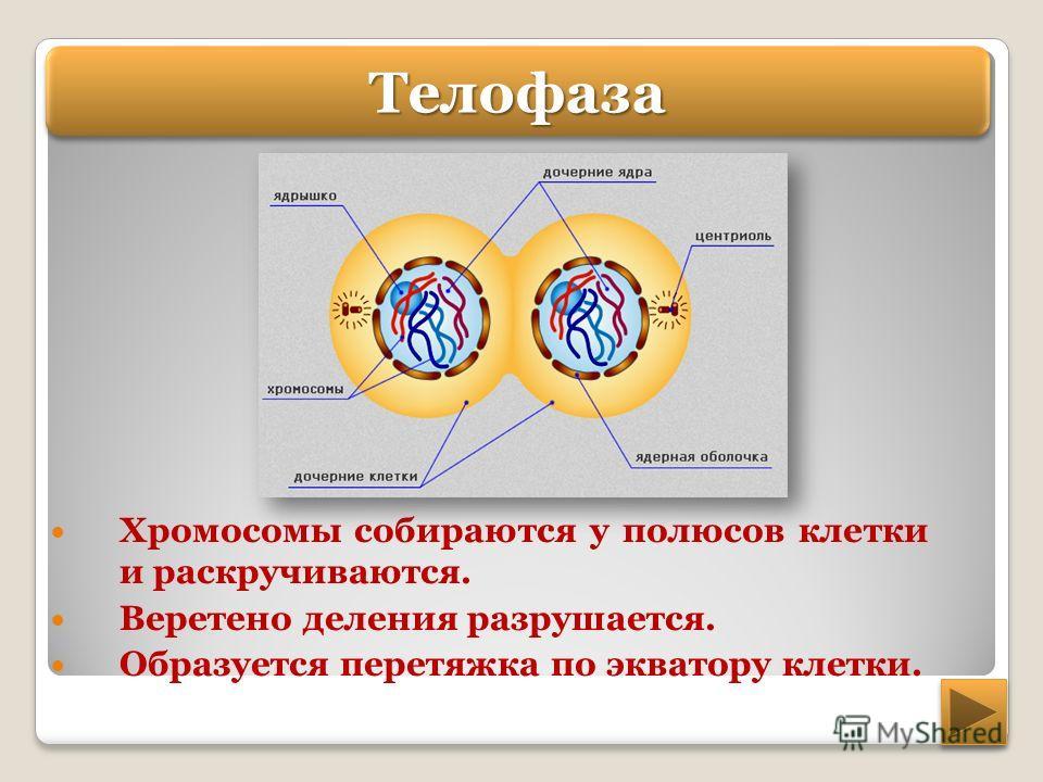 Хромосомы собираются у полюсов клетки и раскручиваются. Веретено деления разрушается. Образуется перетяжка по экватору клетки. Телофаза Телофаза