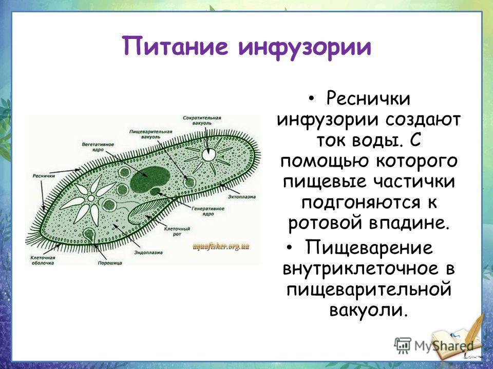 Питание инфузории Реснички инфузории создают ток воды. С помощью которого пищевые частички подгоняются к ротовой впадине. Пищеварение внутриклеточное в пищеварительной вакуоли.