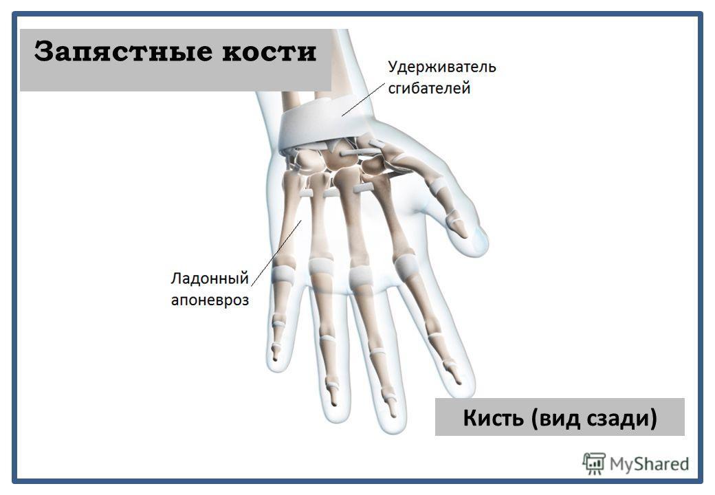 Кисть (вид сзади) Запястные кости