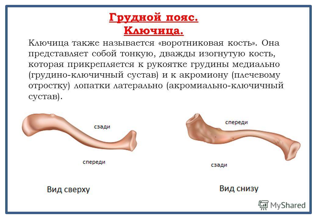 Грудной пояс. Ключица. Ключица также называется «воротниковая кость». Она представляет собой тонкую, дважды изогнутую кость, которая прикрепляется к рукоятке грудины медиально (грудино-ключичный сустав) и к акромиону (плечевому отростку) лопатки лате