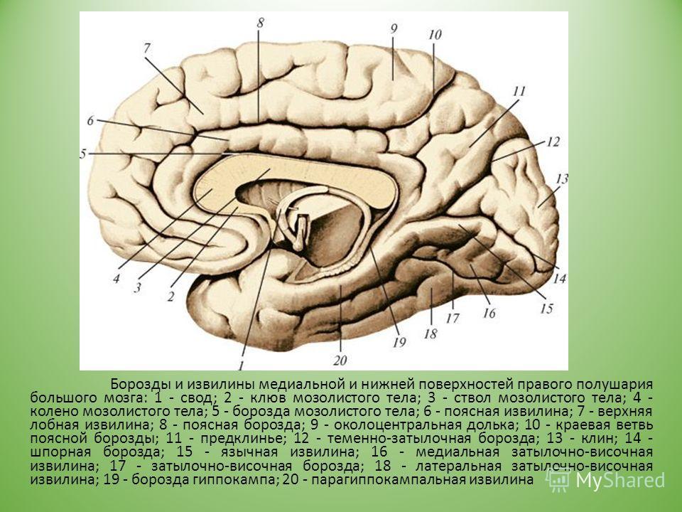 Борозды и извилины медиальной и нижней поверхностей правого полушария большого мозга: 1 - свод; 2 - клюв мозолистого тела; 3 - ствол мозолистого тела; 4 - колено мозолистого тела; 5 - борозда мозолистого тела; 6 - поясная извилина; 7 - верхняя лобная