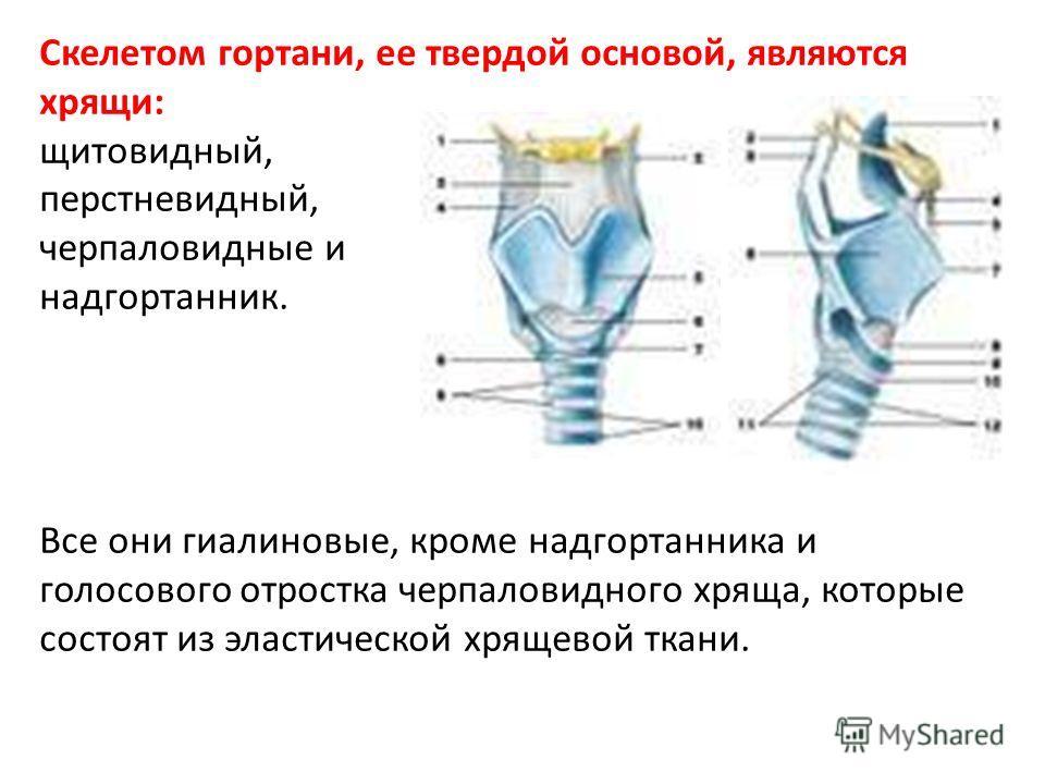 Скелетом гортани, ее твердой основой, являются хрящи: щитовидный, перстневидный, черпаловидные и надгортанник. Все они гиалиновые, кроме надгортанника и голосового отростка черпаловидного хряща, которые состоят из эластической хрящевой ткани.