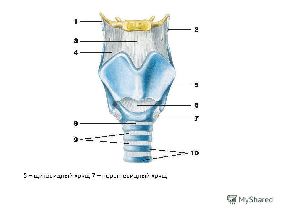 5 – щитовидный хрящ 7 – перстневидный хрящ