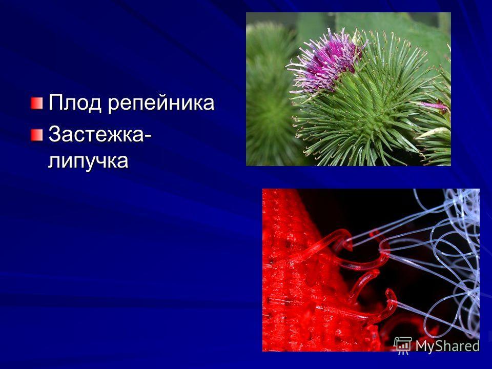 Плод репейника Застежка- липучка