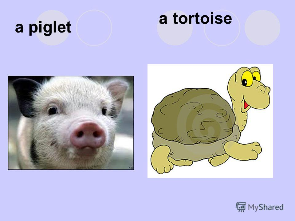 a piglet a tortoise