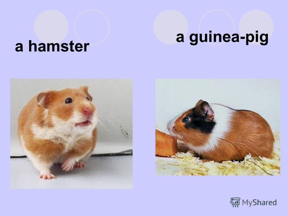 a guinea-pig a hamster