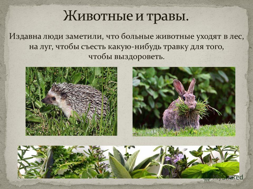 Издавна люди заметили, что больные животные уходят в лес, на луг, чтобы съесть какую-нибудь травку для того, чтобы выздороветь.