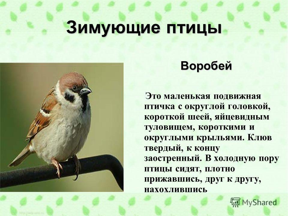 Зимующие птицы Воробей Это маленькая подвижная птичка с округлой головкой, короткой шеей, яйцевидным туловищем, короткими и округлыми крыльями. Клюв твердый, к концу заостренный. В холодную пору птицы сидят, плотно прижавшись, друг к другу, нахохливш