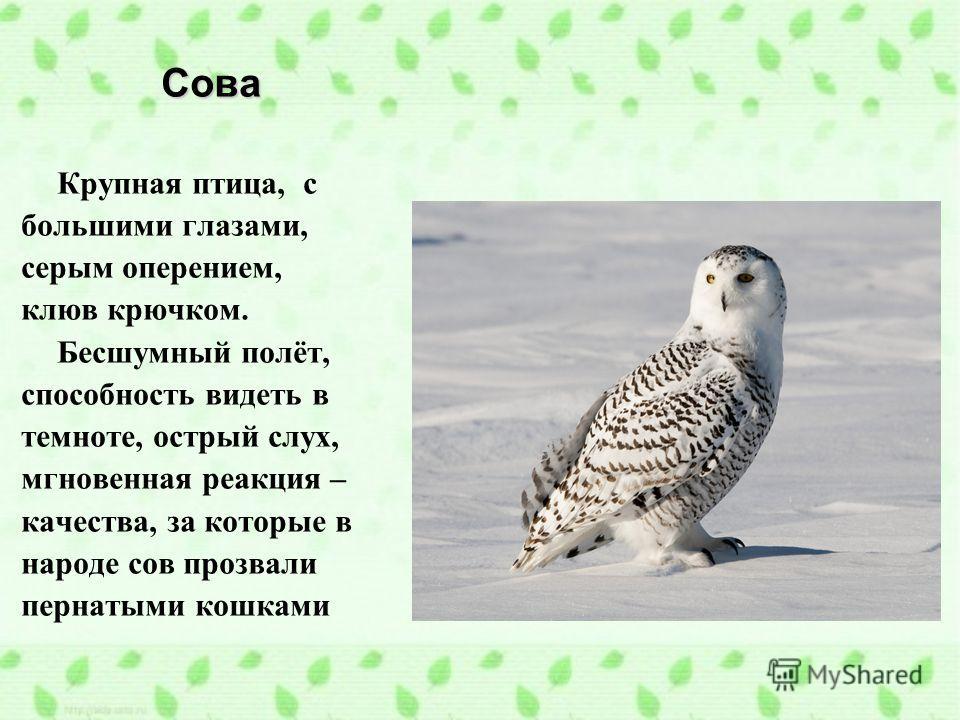 Сова Крупная птица, с большими глазами, серым оперением, клюв крючком. Бесшумный полёт, способность видеть в темноте, острый слух, мгновенная реакция – качества, за которые в народе сов прозвали пернатыми кошками