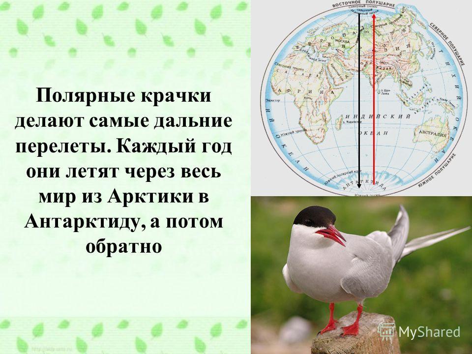 Полярные крачки делают самые дальние перелеты. Каждый год они летят через весь мир из Арктики в Антарктиду, а потом обратно