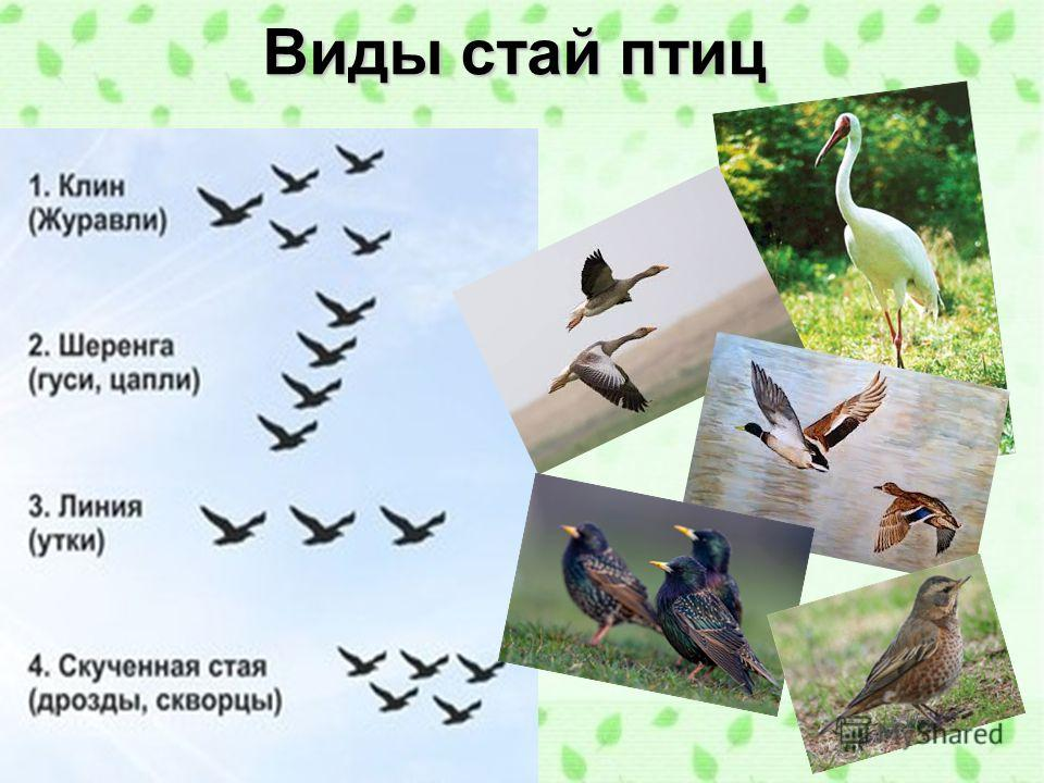 Виды стай птиц