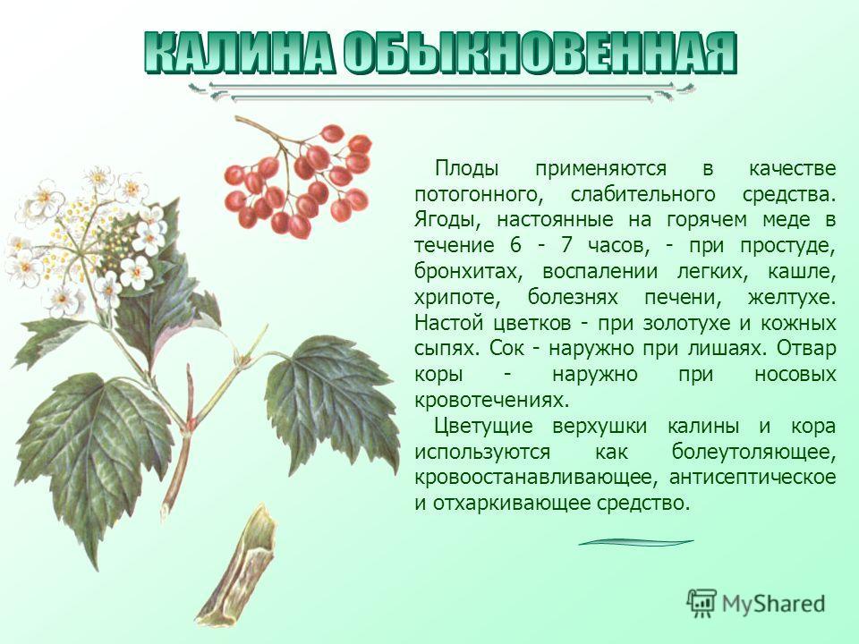 Плоды применяются в качестве потогонного, слабительного средства. Ягоды, настоянные на горячем меде в течение 6 - 7 часов, - при простуде, бронхитах, воспалении легких, кашле, хрипоте, болезнях печени, желтухе. Настой цветков - при золотухе и кожных