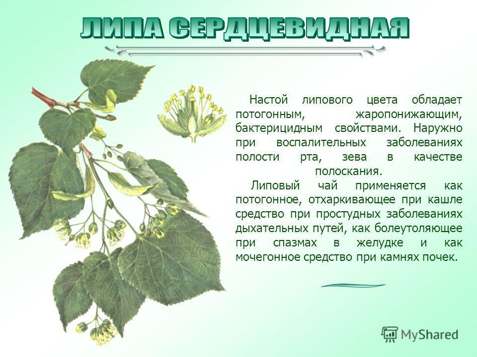 Настой липового цвета обладает потогонным, жаропонижающим, бактерицидным свойствами. Наружно при воспалительных заболеваниях полости рта, зева в качестве полоскания. Липовый чай применяется как потогонное, отхаркивающее при кашле средство при простуд