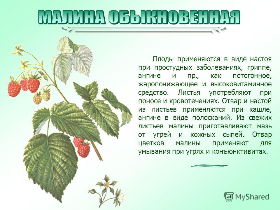 Плоды применяются в виде настоя при простудных заболеваниях, гриппе, ангине и пр., как потогонное, жаропонижающее и высоковитаминное средство. Листья употребляют при поносе и кровотечениях. Отвар и настой из листьев применяются при кашле, ангине в ви