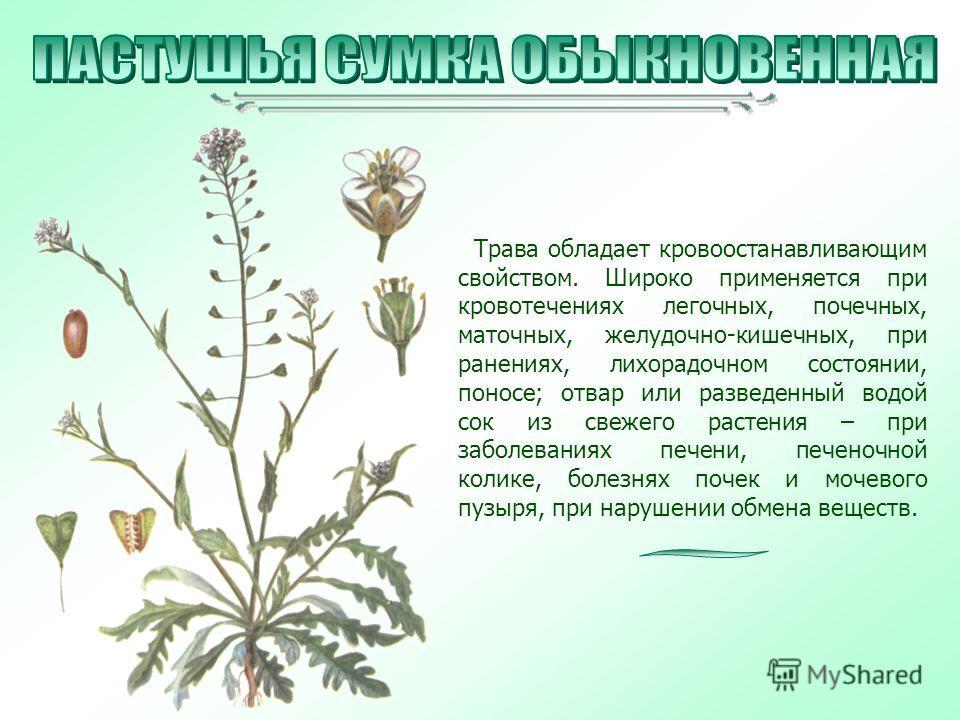 Трава обладает кровоостанавливающим свойством. Широко применяется при кровотечениях легочных, почечных, маточных, желудочно-кишечных, при ранениях, лихорадочном состоянии, поносе; отвар или разведенный водой сок из свежего растения – при заболеваниях