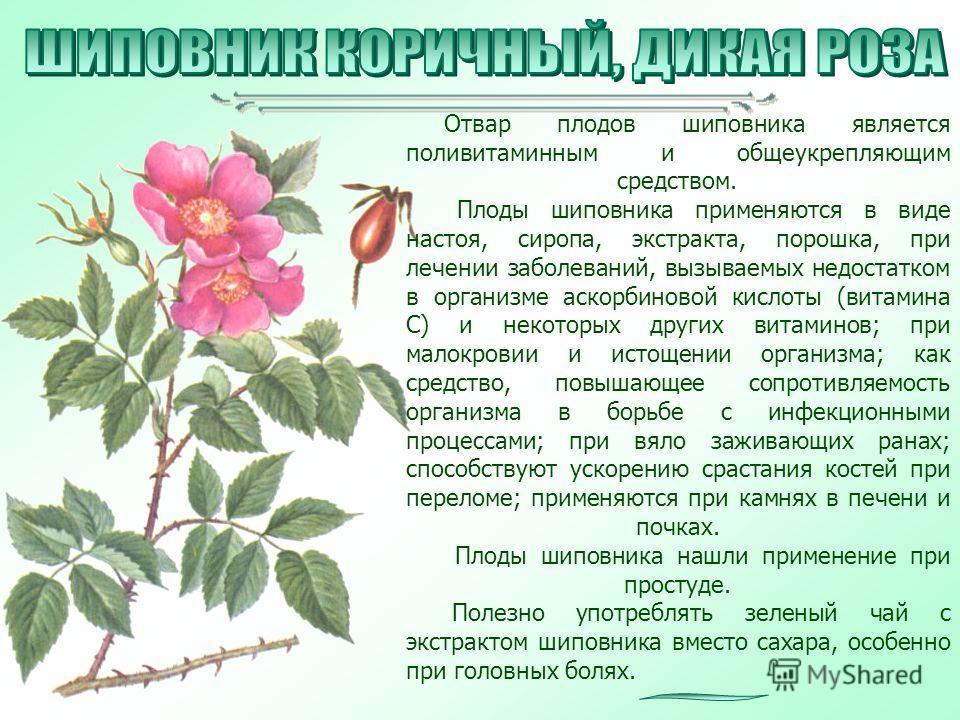 Отвар плодов шиповника является поливитаминным и общеукрепляющим средством. Плоды шиповника применяются в виде настоя, сиропа, экстракта, порошка, при лечении заболеваний, вызываемых недостатком в организме аскорбиновой кислоты (витамина С) и некотор