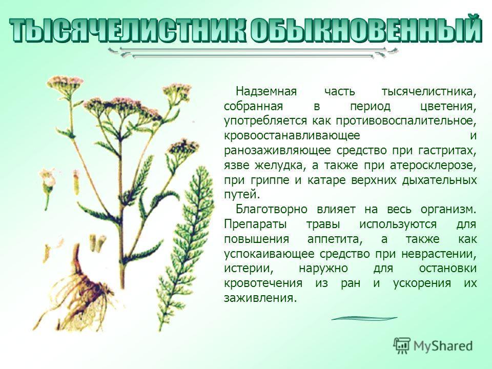 Надземная часть тысячелистника, собранная в период цветения, употребляется как противовоспалительное, кровоостанавливающее и ранозаживляющее средство при гастритах, язве желудка, а также при атеросклерозе, при гриппе и катаре верхних дыхательных путе