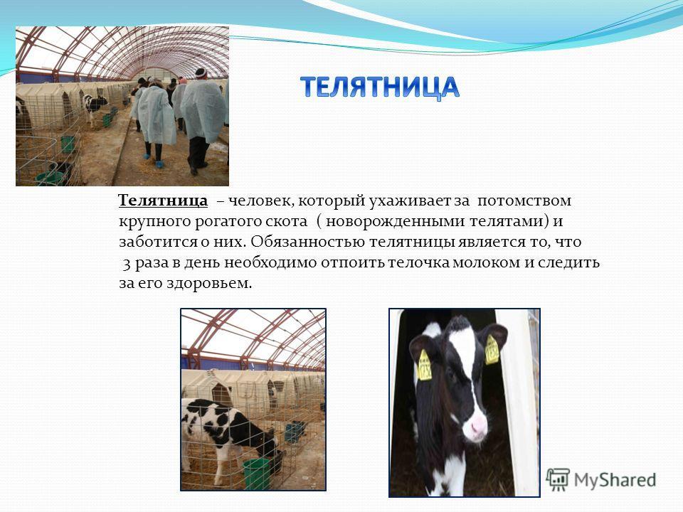 Телятница – человек, который ухаживает за потомством крупного рогатого скота ( новорожденными телятами) и заботится о них. Обязанностью телятницы является то, что 3 раза в день необходимо отпоить телочка молоком и следить за его здоровьем.