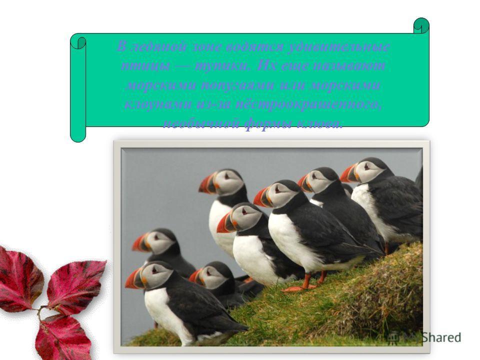 В ледяной зоне водятся удивительные птицы тупики. Их еще называют морскими попугаями или морскими клоунами из-за пёстроокрашенного, необычной формы клюва.