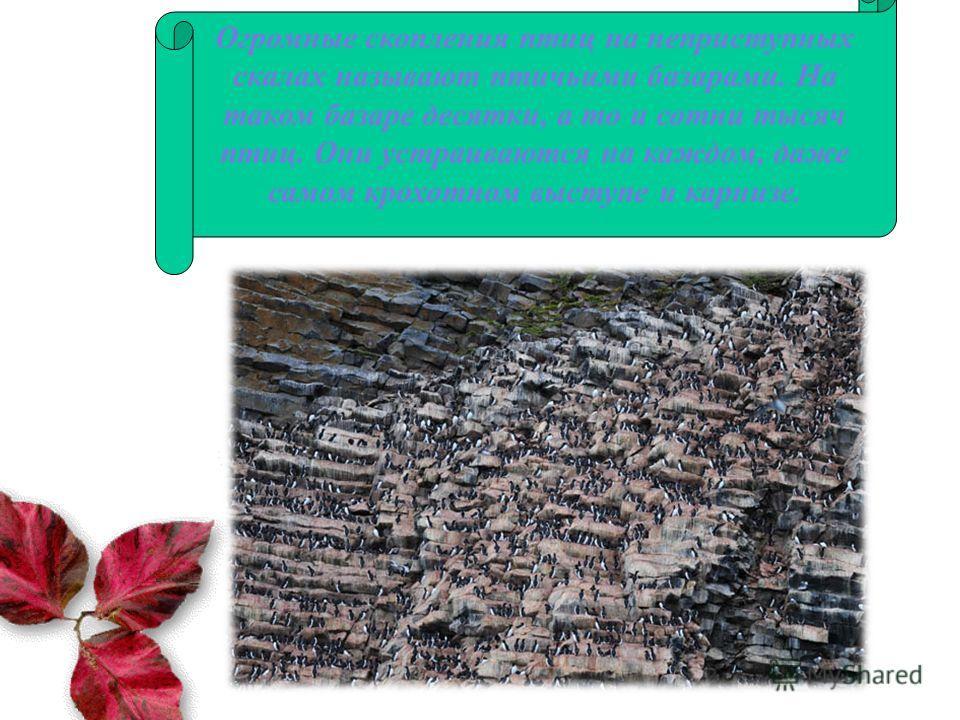 Огромные скопления птиц на неприступных скалах называют птичьими базарами. На таком базаре десятки, а то и сотни тысяч птиц. Они устраиваются на каждом, даже самом крохотном выступе и карнизе.