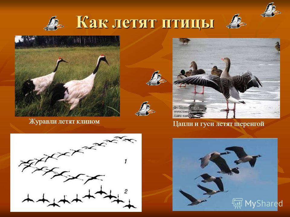 Отлёт птиц Сначала улетают насекомоядные птицы. (сентябрь- октябрь) Позже улетают зерноядные птицы, а затем болотные и водные. Одними из первых улетают стрижи. стриж