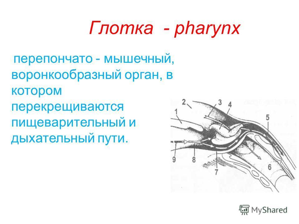 Глотка - pharynx перепончато - мышечный, воронкообразный орган, в котором перекрещиваются пищеварительный и дыхательный пути.