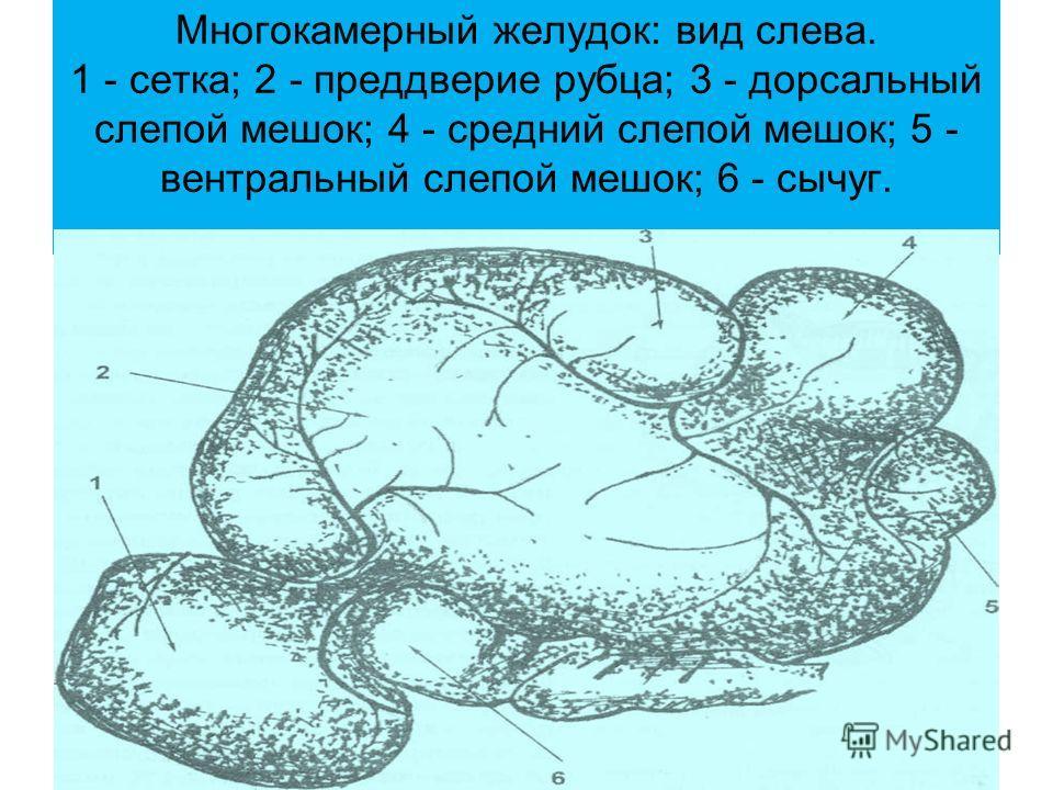 Многокамерный желудок: вид слева. 1 - сетка; 2 - преддверие рубца; 3 - дорсальный слепой мешок; 4 - средний слепой мешок; 5 - вентральный слепой мешок; 6 - сычуг.