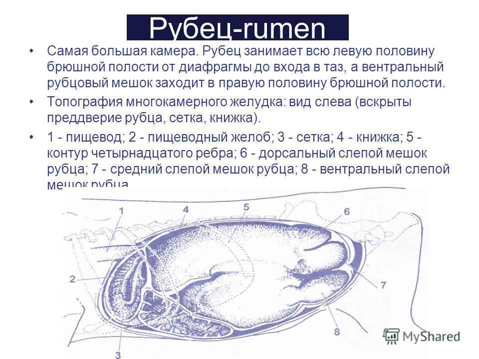 Рубец-rumen Самая большая камера. Рубец занимает всю левую половину брюшной полости от диафрагмы до входа в таз, а вентральный рубцовый мешок заходит в правую половину брюшной полости. Топография многокамерного желудка: вид слева (вскрыты преддверие