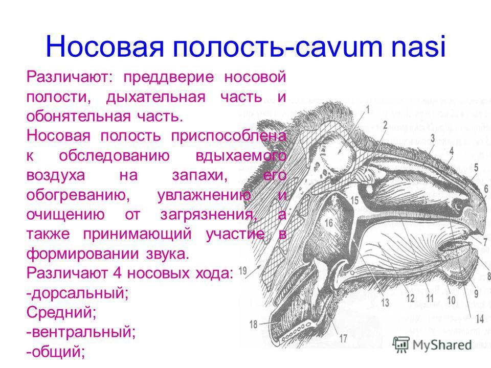 Носовая полость-cavum nasi Различают: преддверие носовой полости, дыхательная часть и обонятельная часть. Носовая полость приспособлена к обследованию вдыхаемого воздуха на запахи, его обогреванию, увлажнению и очищению от загрязнения, а также приним