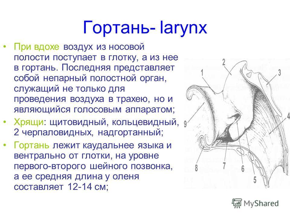 Гортань- larynx При вдохе воздух из носовой полости поступает в глотку, а из нее в гортань. Последняя представляет собой непарный полостной орган, служащий не только для проведения воздуха в трахею, но и являющийся голосовым аппаратом; Хрящи: щитовид