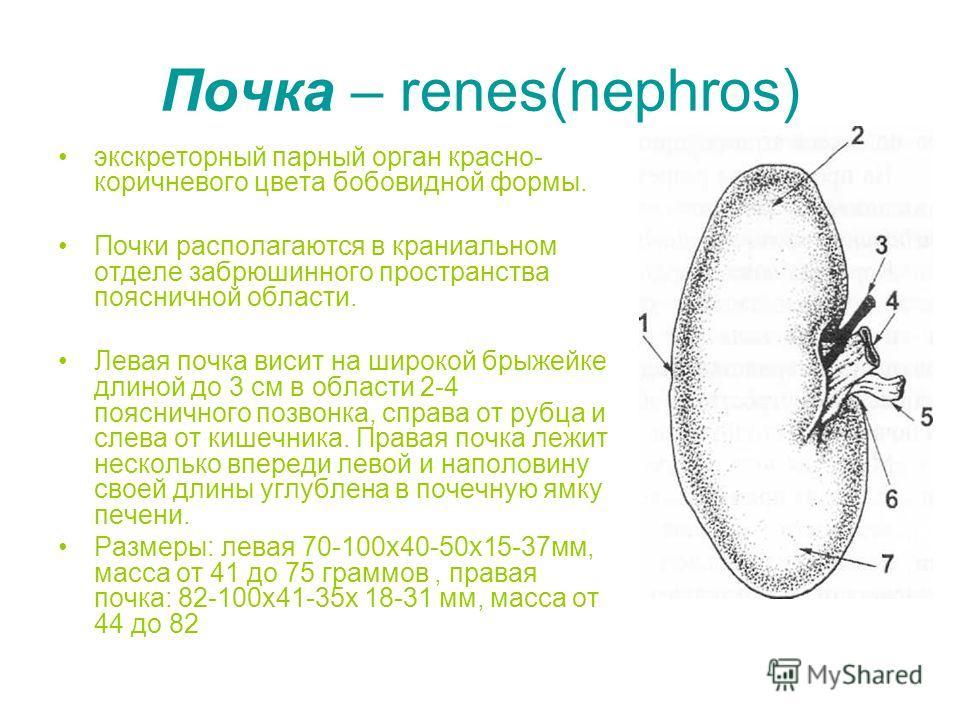 Почка – renes(nephros) экскреторный парный орган красно- коричневого цвета бобовидной формы. Почки располагаются в краниальном отделе забрюшинного пространства поясничной области. Левая почка висит на широкой брыжейке длиной до 3 см в области 2-4 поя