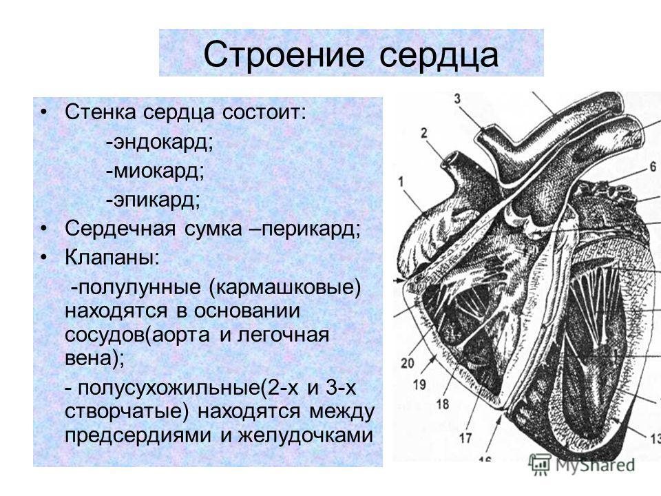 Строение сердца Стенка сердца состоит: -эндокард; -миокард; -эпикард; Сердечная сумка –перикард; Клапаны: -полулунные (кармашковые) находятся в основании сосудов(аорта и легочная вена); - полусухожильные(2-х и 3-х створчатые) находятся между предсерд