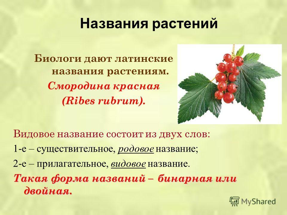 Биологи дают латинские названия растениям. Смородина красная (Ribes rubrum). Видовое название состоит из двух слов: 1- е – существительное, родовое название ; 2- е – прилагательное, видовое название. Такая форма названий – бинарная или двойная. Назва