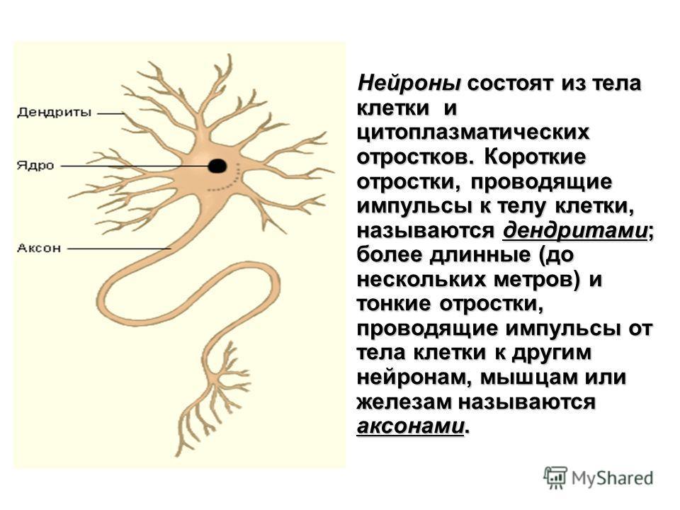 Нейроны состоят из тела клетки и цитоплазматических отростков. Короткие отростки, проводящие импульсы к телу клетки, называются дендритами; более длинные (до нескольких метров) и тонкие отростки, проводящие импульсы от тела клетки к другим нейронам,