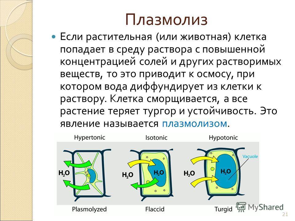 Плазмолиз Если растительная ( или животная ) клетка попадает в среду раствора с повышенной концентрацией солей и других растворимых веществ, то это приводит к осмосу, при котором вода диффундирует из клетки к раствору. Клетка сморщивается, а все раст
