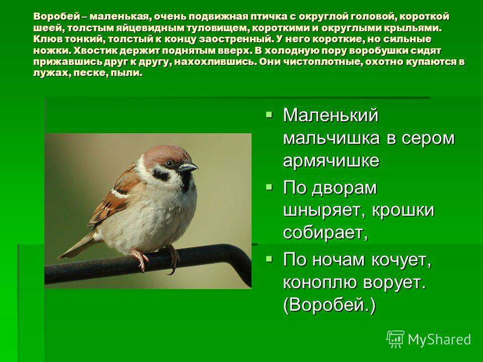 Воробей – маленькая, очень подвижная птичка с округлой головой, короткой шеей, толстым яйцевидным туловищем, короткими и округлыми крыльями. Клюв тонкий, толстый к концу заостренный. У него короткие, но сильные ножки. Хвостик держит поднятым вверх. В