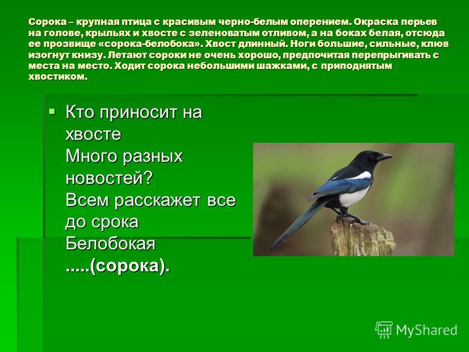 Сорока – крупная птица с красивым черно-белым оперением. Окраска перьев на голове, крыльях и хвосте с зеленоватым отливом, а на боках белая, отсюда ее прозвище «сорока-белобока». Хвост длинный. Ноги большие, сильные, клюв изогнут книзу. Летают сороки