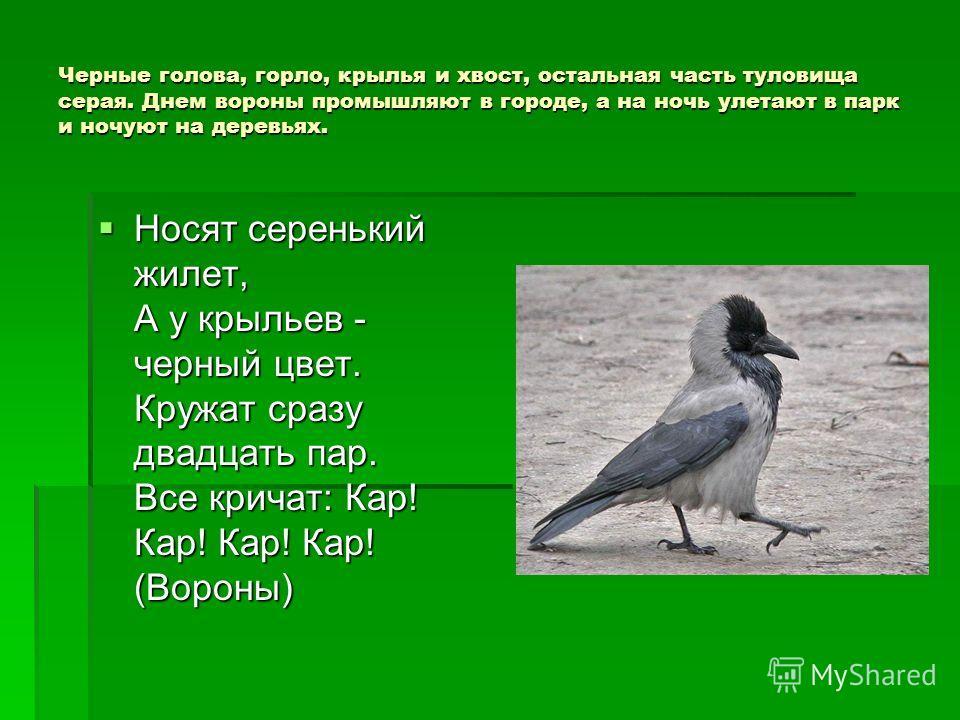 Черные голова, горло, крылья и хвост, остальная часть туловища серая. Днем вороны промышляют в городе, а на ночь улетают в парк и ночуют на деревьях. Носят серенький жилет, А у крыльев - черный цвет. Кружат сразу двадцать пар. Все кричат: Кар! Кар! К