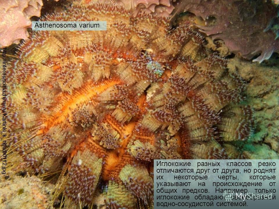 http://interesno-nazhimy.ru/Kartinki_k_nov/00112. jpg Asthenosoma varium Иглокожие разных классов резко отличаются друг от друга, но роднят их некоторые черты, которые указывают на происхождение от общих предков. Например, только иглокожие обладают с