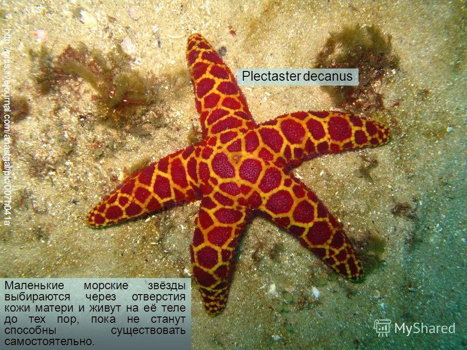 http://pics.livejournal.com/anastgal/pic/007h041a Plectaster decanus Маленькие морские звёзды выбираются через отверстия кожи матери и живут на её теле до тех пор, пока не станут способны существовать самостоятельно.