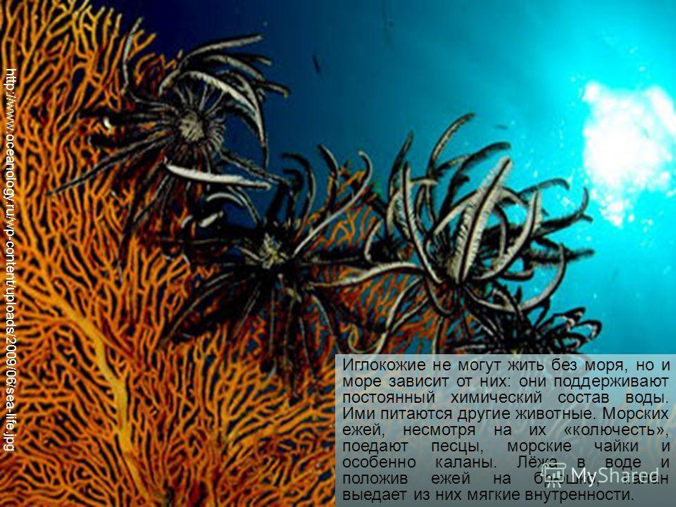 http://www.oceanology.ru/wp-content/uploads/2009/06/sea-life.jpg Иглокожие не могут жить без моря, но и море зависит от них: они поддерживают постоянный химический состав воды. Ими питаются другие животные. Морских ежей, несмотря на их «колючесть», п