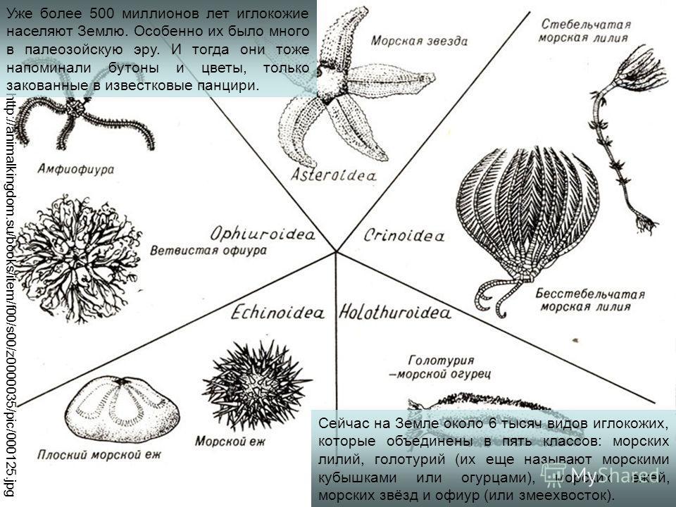 Сейчас на Земле около 6 тысяч видов иглокожих, которые объединены в пять классов: морских лилий, голотурий (их еще называют морскими кубышками или огурцами), морских ежей, морских звёзд и офиур (или змеехвосток). http://animalkingdom.su/books/item/f0