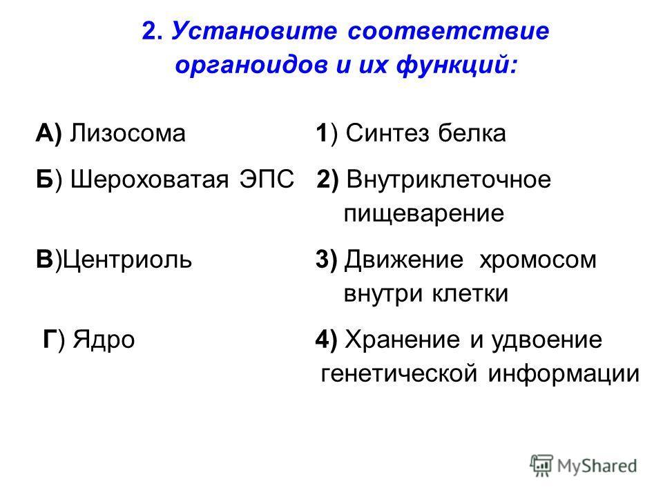 2. Установите соответствие органоидов и их функций: А) Лизосома 1) Синтез белка Б) Шероховатая ЭПС 2) Внутриклеточное пищеварение В)Центриоль 3) Движение хромосом внутри клетки Г) Ядро 4) Хранение и удвоение генетической информации