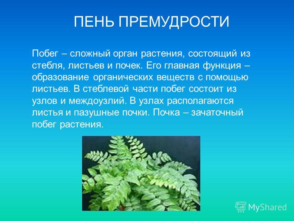 ПЕНЬ ПРЕМУДРОСТИ Побег – сложный орган растения, состоящий из стебля, листьев и почек. Его главная функция – образование органических веществ с помощью листьев. В стеблевой части побег состоит из узлов и междоузлий. В узлах располагаются листья и паз