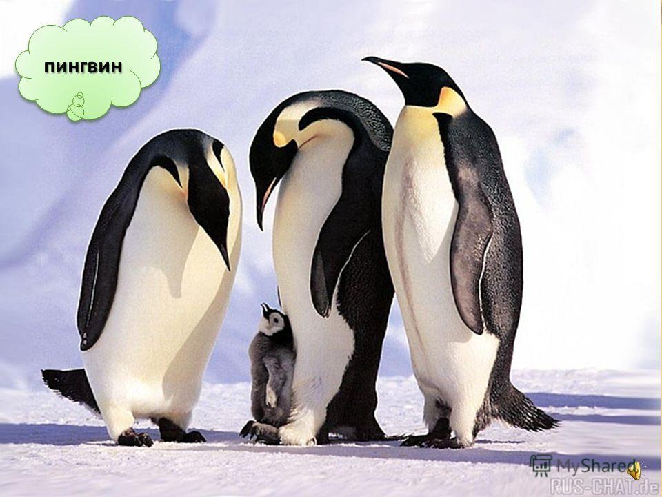 Пингвин – тоже не может летать. Крылья он использует, как ласты, чтобы плавать в воде или под водой. С помощью крыльев пингвин сохраняет равновесие. Крылья и клюв – оружие пингвина в драке.