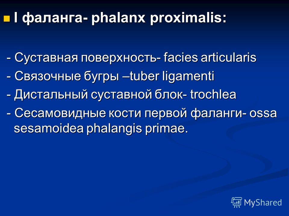 I фаланга- phalanx proximalis: I фаланга- phalanx proximalis: - Суставная поверхность- facies articularis - Суставная поверхность- facies articularis - Связочные бугры –tuber ligamenti - Связочные бугры –tuber ligamenti - Дистальный суставной блок- t