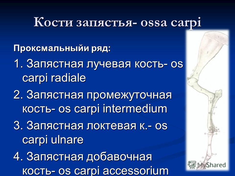 Кости запястья- ossa carpi Проксмальныйи ряд: 1. Запястная лучевая кость- os carpi radiale 2. Запястная промежуточная кость- os carpi intermedium 3. Запястная локтевая к.- os carpi ulnare 4. Запястная добавочная кость- os carpi accessorium