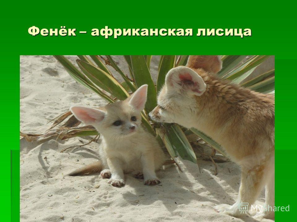 Фенёк – африканская лисица