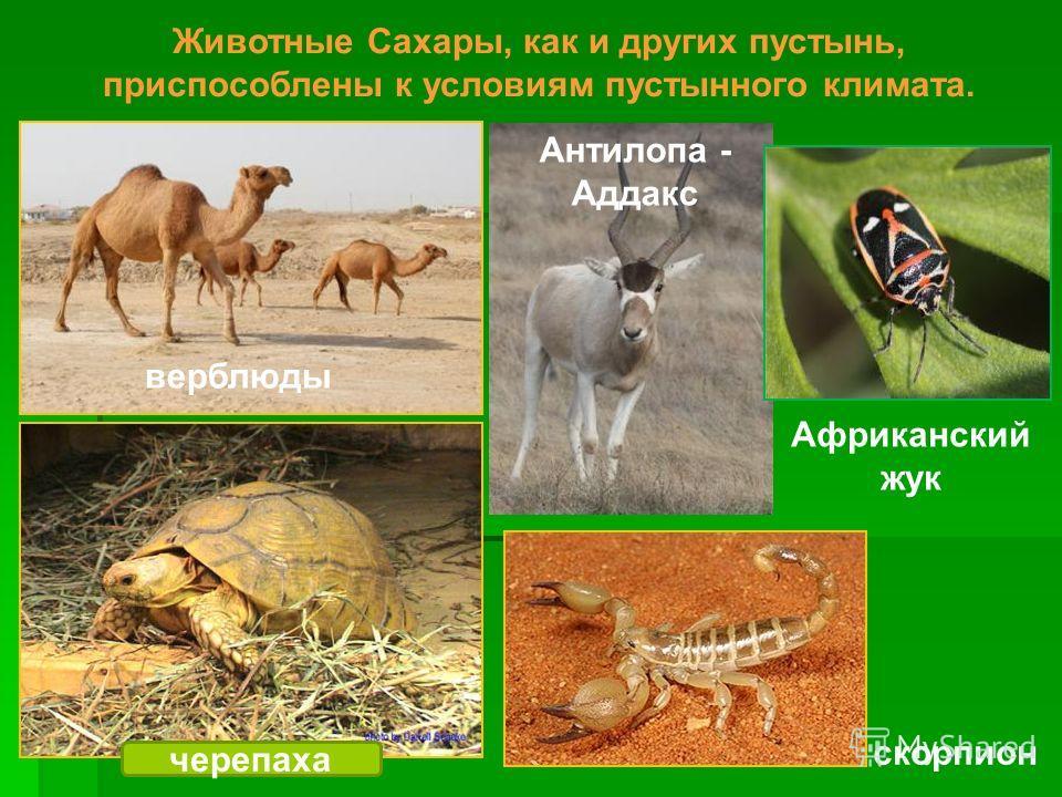 Животные Сахары, как и других пустынь, приспособлены к условиям пустынного климата. верблюды Антилопа - Аддакс черепаха скорпион Африканский жук