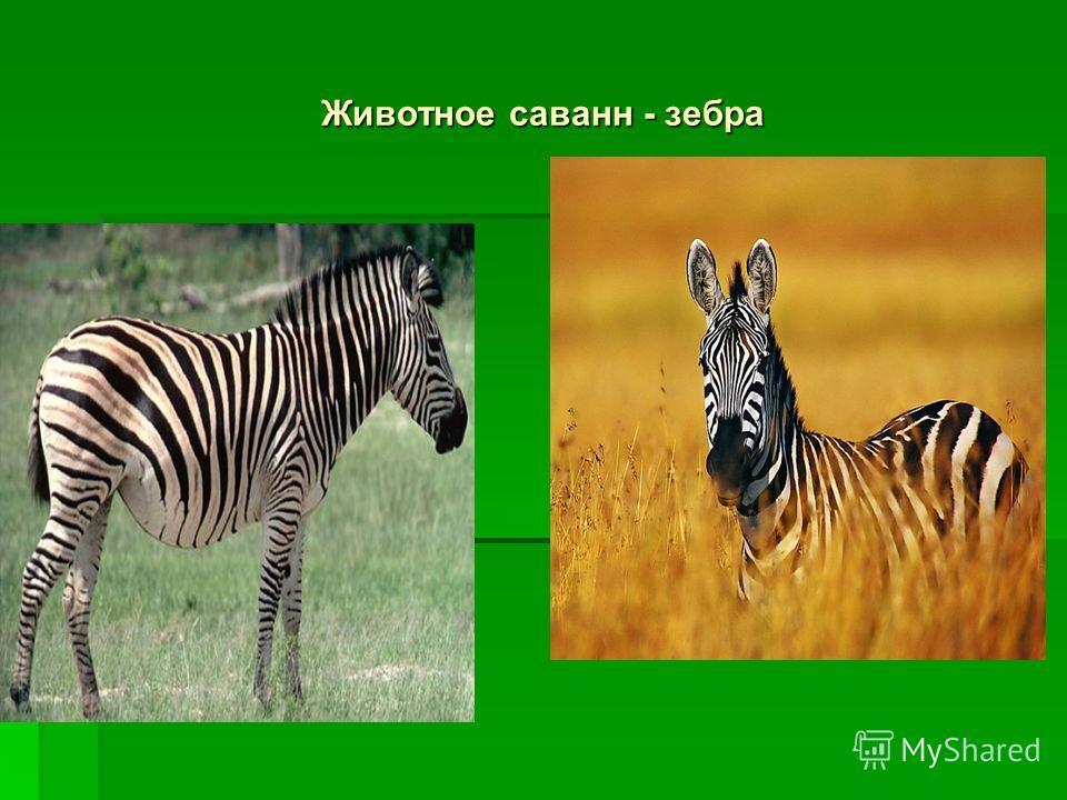 Животное саванн - зебра